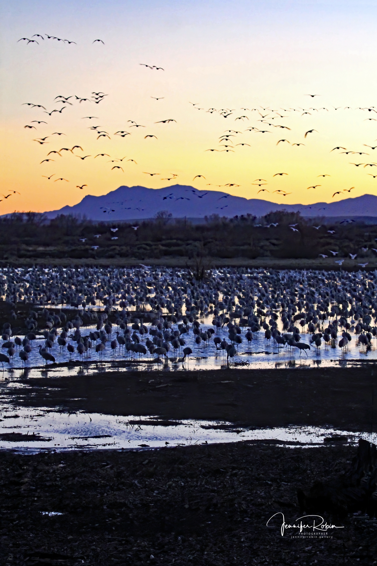 Sandhill Cranes and snow geese at sunset at Ladd S Gordon Waterfowl Complex - Bernardo Wildlife Area