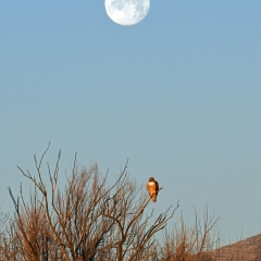 RED TAIL AND THE MOON