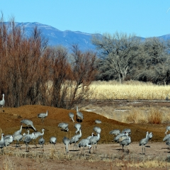Sandhill Cranes  at Ladd S Gordon Waterfowl Complex - Bernardo Wildlife Area