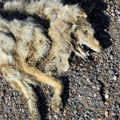 A dead coyote at the roadside edge at Ladd S Gordon Waterfowl Complex - Bernardo Wildlife Area