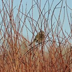 White-crowned at Cornerstone Marsh. Ladd S Gordon Waterfowl Complex - La Joya Waterfowl Area