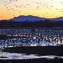Sandhill Cranes and snow geese at sunset at Ladd S Gordon Waterfowl Complex - Bernardo Wildlife Area