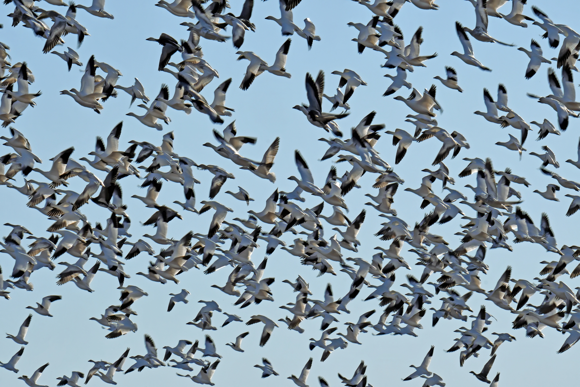 a flock of Snow Geese flying overhead at Ladd S Gordon Waterfowl Complex – Bernardo WMA Unit