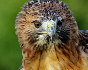 Cheyenne, A portrait of a non releasable Red-tailed hawk fixated on its surroundings at Balsam Mountain Trust Preserve