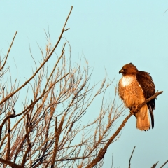 Red-tailed Hawk at Ladd S Gordon Waterfowl Complex - La Joya Waterfowl Area