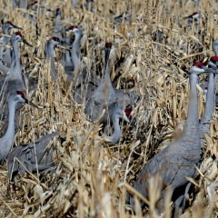 Sandhill Cranes  in cornfields at Ladd S Gordon Waterfowl Complex - Bernardo Wildlife Area