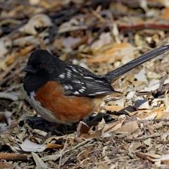 Spotted Towhee at Ladd S Gordon Waterfowl Complex - Bernardo Wildlife Area