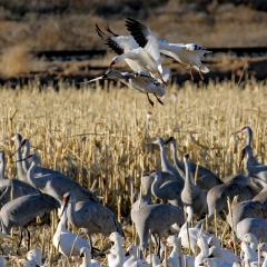 Sandhill cranes and snow geese in cornfields at Ladd S Gordon Waterfowl Complex - Bernardo Wildlife Area
