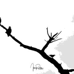 Two bald eagles and a raven silhouette at  Bosque Del Apache