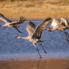 Sandhill crane in flight at south pond, Bosque Del Apache