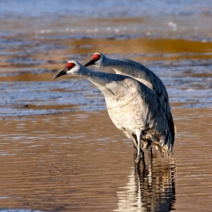 Sandhill crane at south pond, Bosque Del Apache