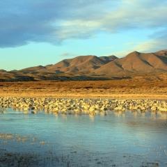 Sandhill cranes at south pond, Bosque Del Apache