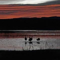 Sandhill cranes during surise at flight deck pond, Bosque Del Apache