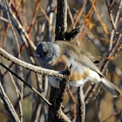 Pink-sided Junco shakes his body at Bottomless Lakes State Park in Roswell, NM