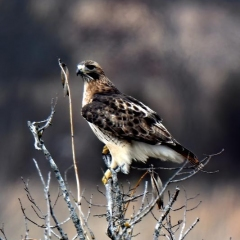 Red-tailed Hawk  in Checotah, OK.