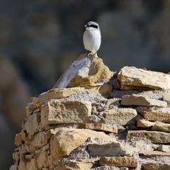 Loggerhead Shrike sits on ruins at Chaco Canyon in Nageezi, NM