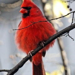 A beautiful male Northern Cardinal (Cardinalis cardinalis) fluffs his feathers under the water tower at the Historic Marathon Motor Works in Nashville TN.