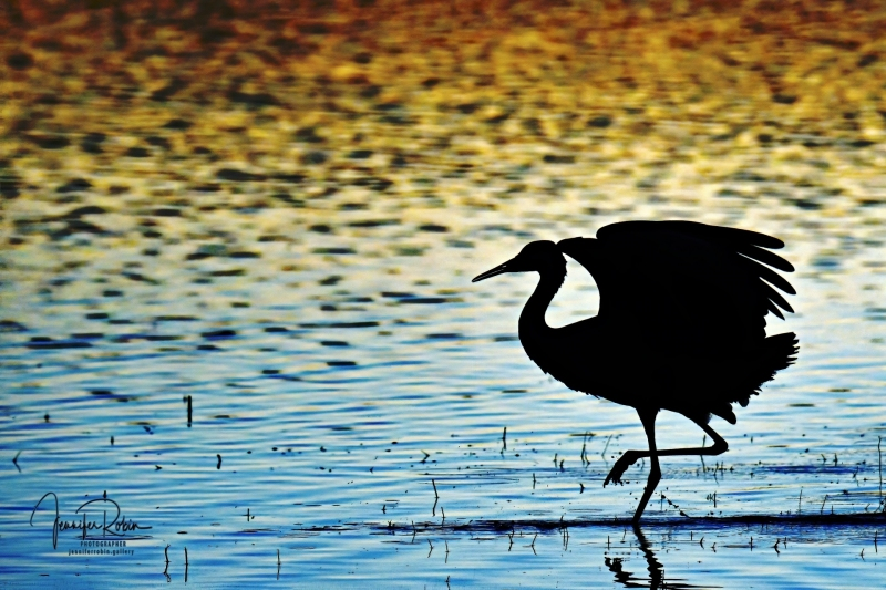 Sandhill crane sunset during the golden hour at south pond, Bosque Del Apache