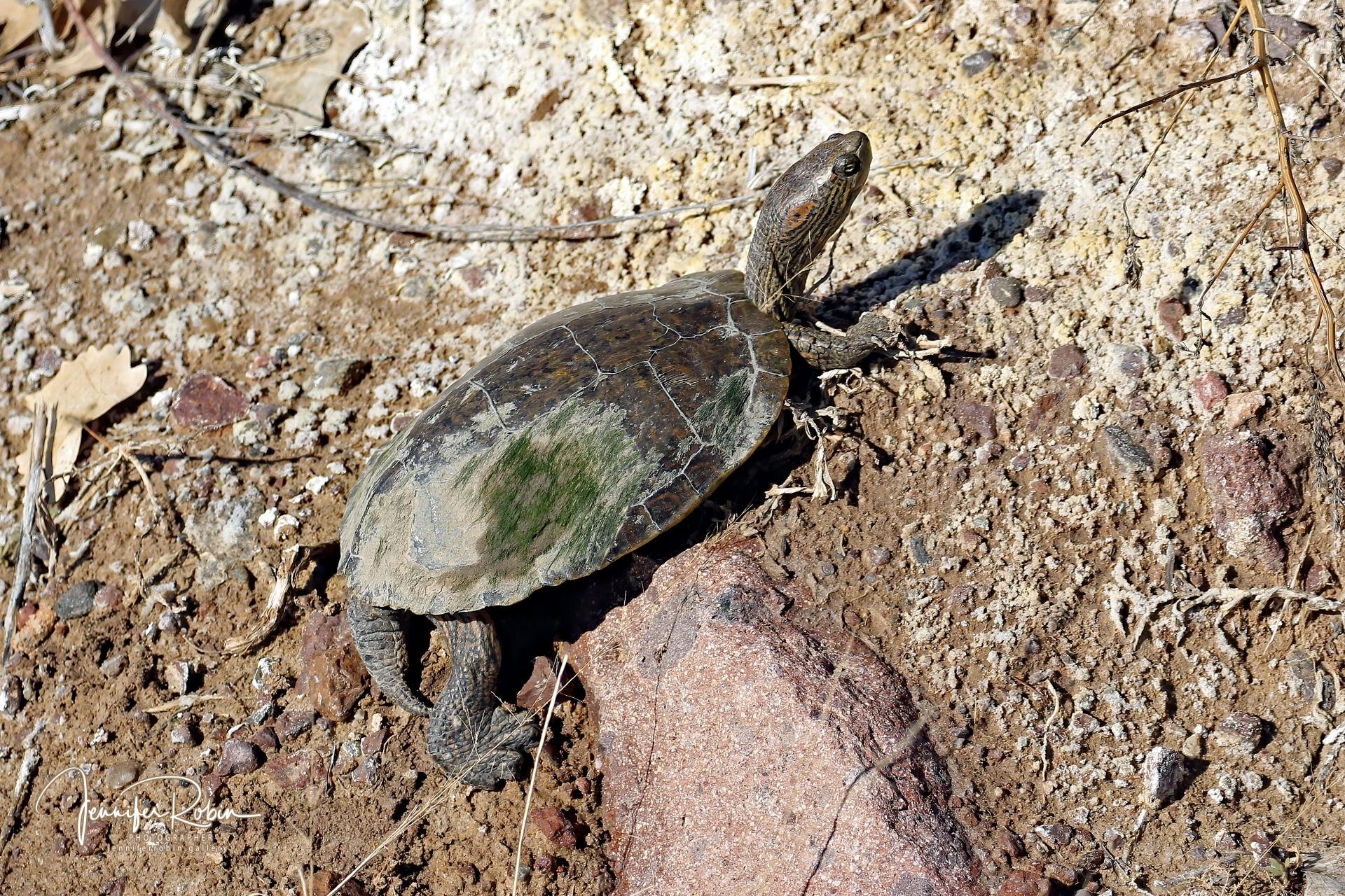 Big Bend Slider turtle at Bosque Del Apache