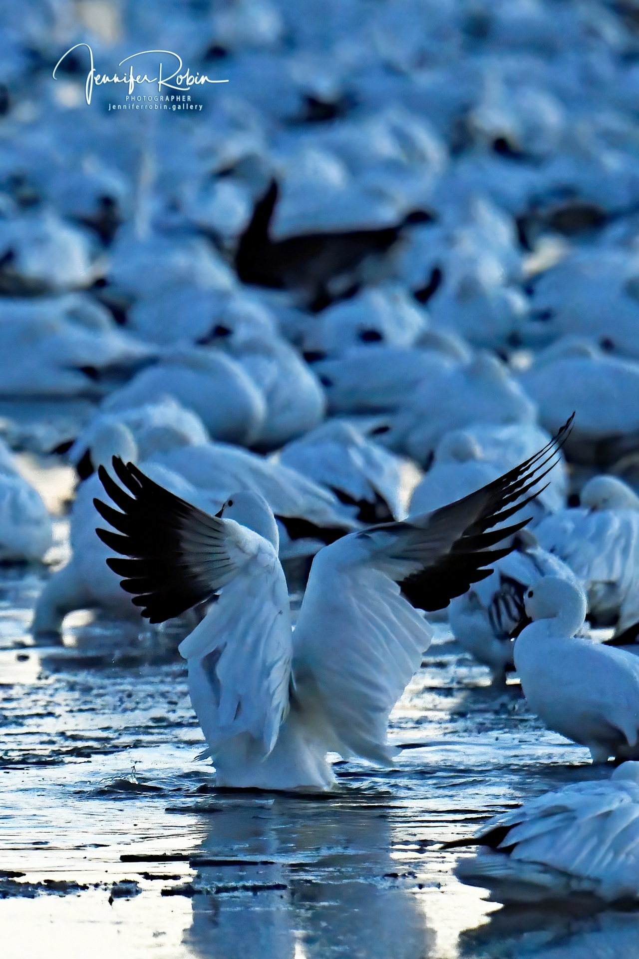 First  Snow goose  to rise at the flight deck, Bosque Del Apache