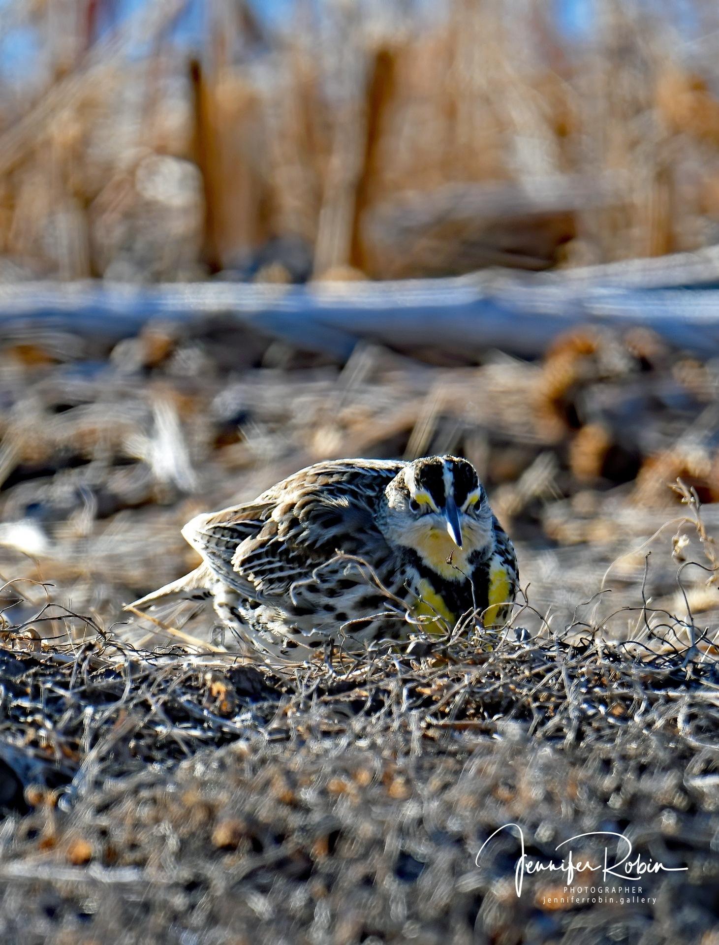 Western Meadowlark at Bosque Del Apache