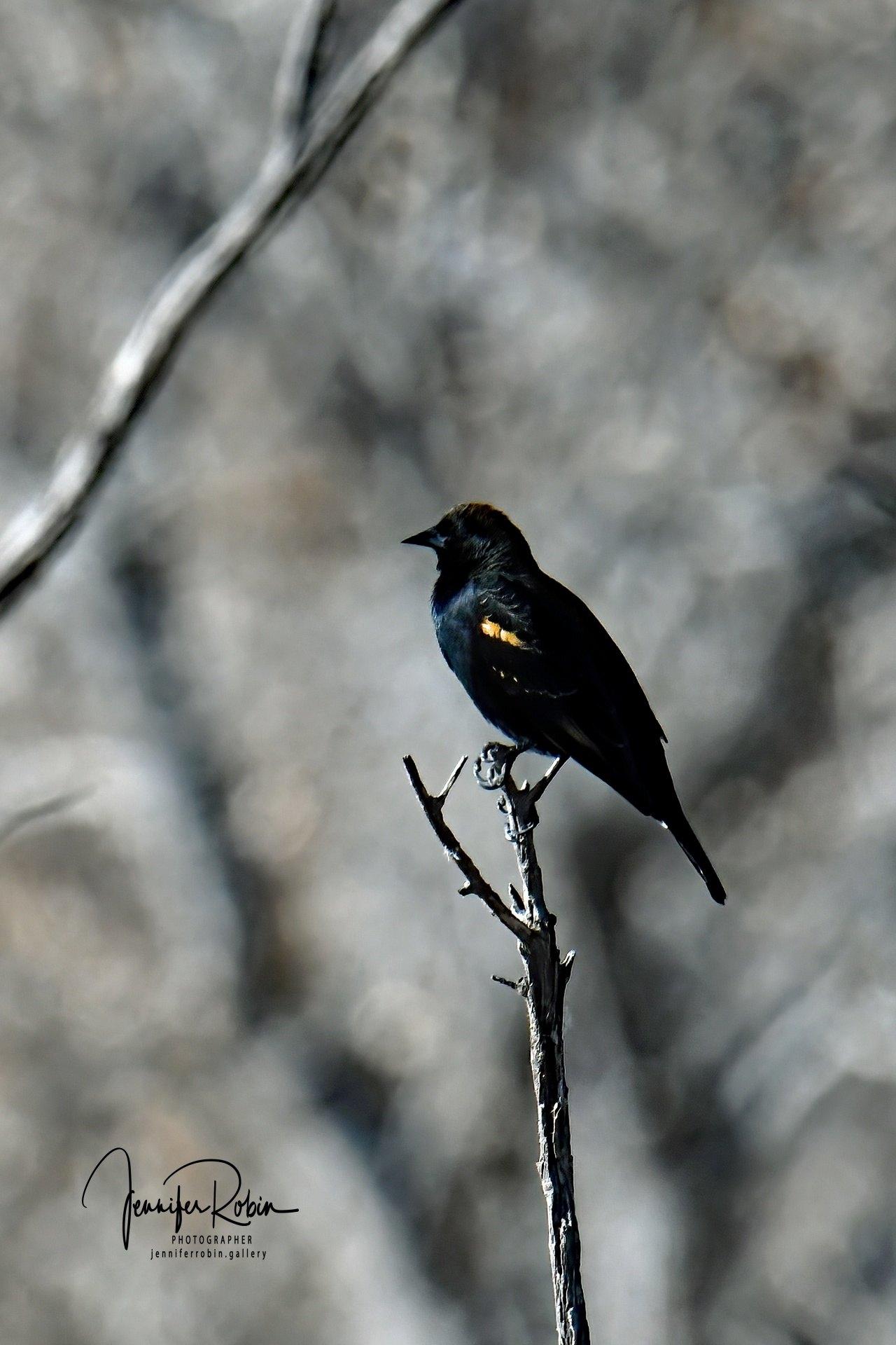 Red-wing blackbird at Bosque Del Apache