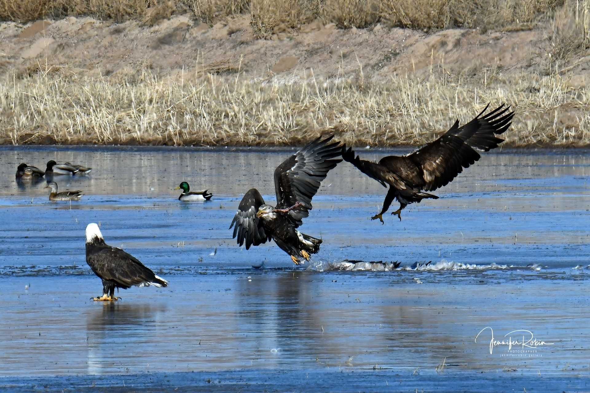 A Bald Eagle  family feed and fight over a Sandhill crane carcass as they try to stand on thin ice.
