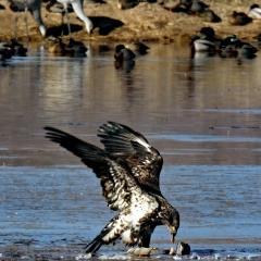 A juvenile Bald Eagle feeds on a Sandhill crane carcass at Bosque Del Apache