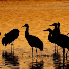 Sandhill cranes sunset during the golden hour at south pond, Bosque Del Apache