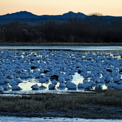 Snow goose sunrise at the flight deck, Bosque Del Apache
