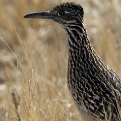 Greater Roadrunner at Bosque Del Apache