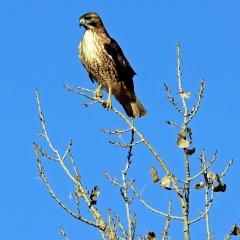 Red-tailed Hawk at Bosque Del Apache