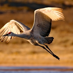 Sandhill crane in flight at south pond,  Bosque Del Apache