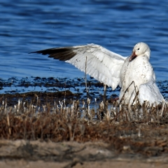 An injured snow goose at Bosque Del Apache.