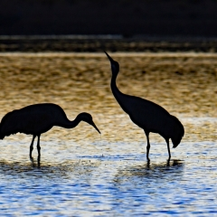 Sandhill cranes during sunset at south pond, Bosque Del Apache