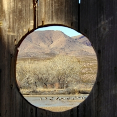 Canadian geese are visible behind the blind at  Bosque Del Apache
