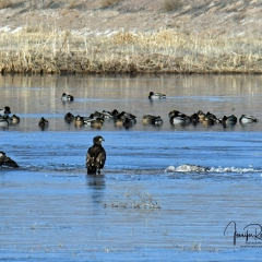 Juvenile Bald Eagles guarding their crane carcass still partially frozen, a Mule Deer drinking at the water's edge at  Bosque Del Apache