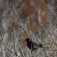 A male house finch at Bosque Del Apache
