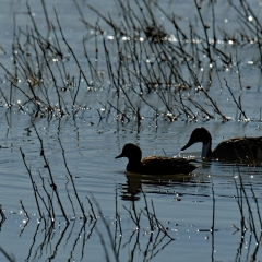 A northern pintail and unidentified duck at  Bosque Del Apache
