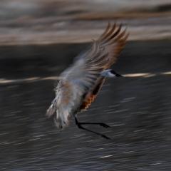 Sandhill crane at south pond, Bosque Del Apache