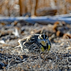 BOSQUE MEADOWLARK