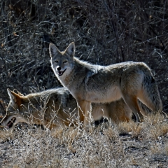 A pair of coyotes at Bosque Del Apache