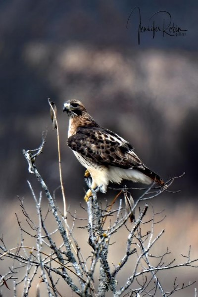 BUTEO IN CHECOAH