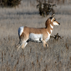 PROFILE OF A PRONGHORN