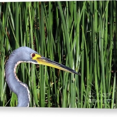tri-colored-heron-in-reeds-jennifer-robin-canvas-print