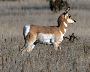 A brown and white patterned Pronghorn in New Mexico desert .