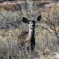Mule deer at Bosque Del Apache